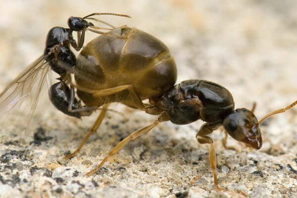 reproducción de la hormiga