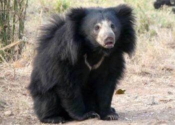 oso bezudo o labiado características y comportamiento
