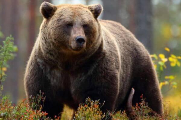cómo es el oso pardo