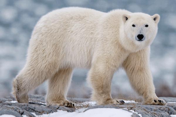 cómo es el oso polar
