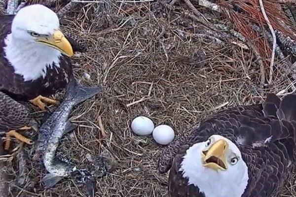 reproducción del águila explicación para niños