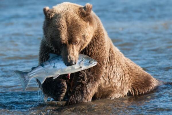 qué como el oso para niños
