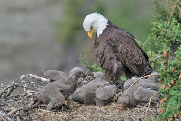 cómo se reproduce el águila