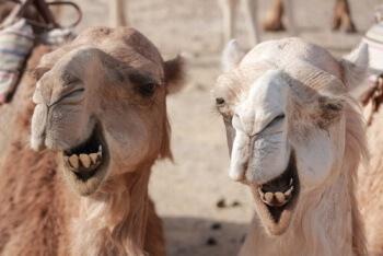 camello peso y tamaño