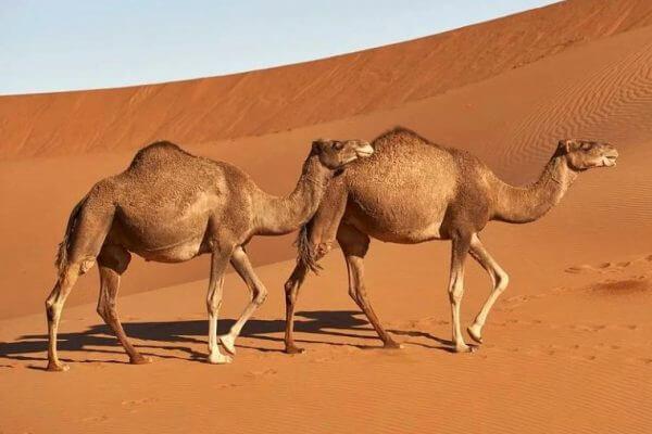 cómo se relacionan los camellos