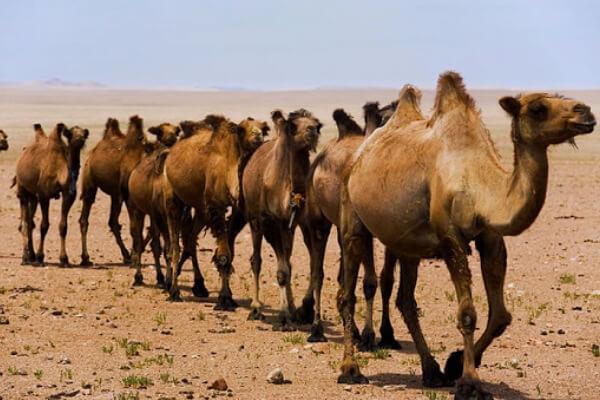 comportamiento camellos en libertad