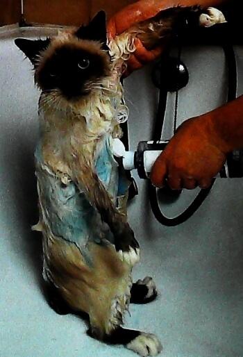 como bañar a mi gato