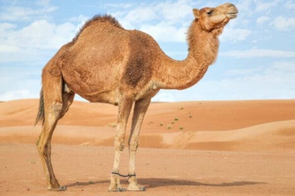 camello descripción