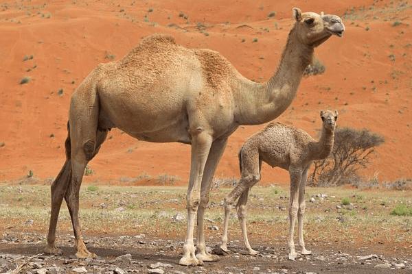 reproducción camellos