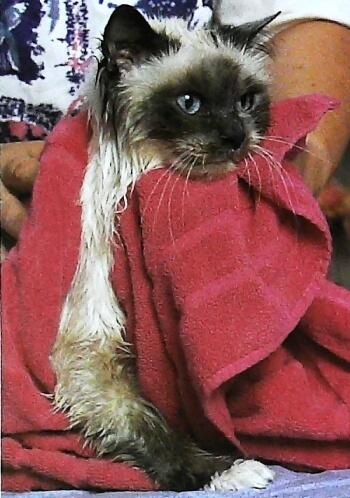 como bañar a un gato bebe
