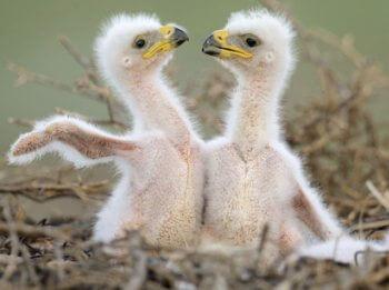 Cuántas crías pueden tener las águilas