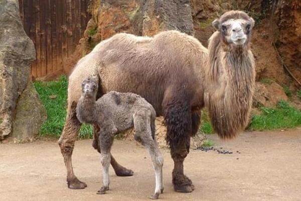 cuándo se reproducen los camellos