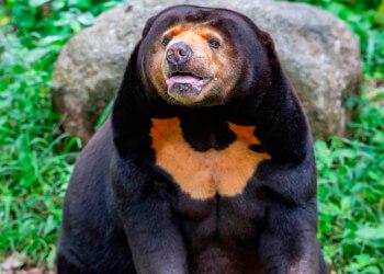 oso malayo características