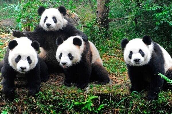 definición oso panda gigante