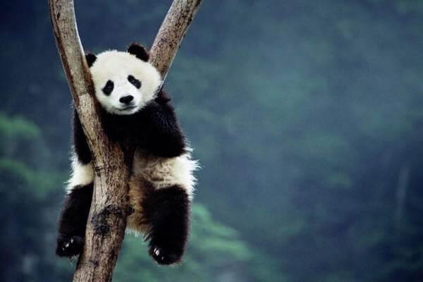 costumbres oso panda gigante