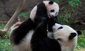 cómo se reproduce el oso panda