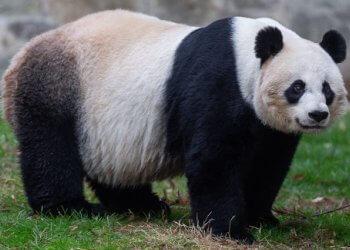 oso panda características