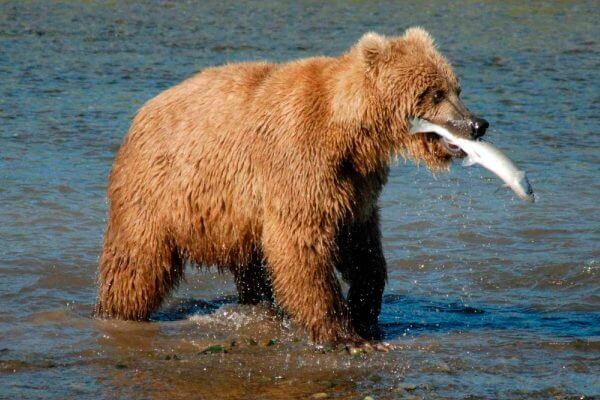 qué come el oso pardo