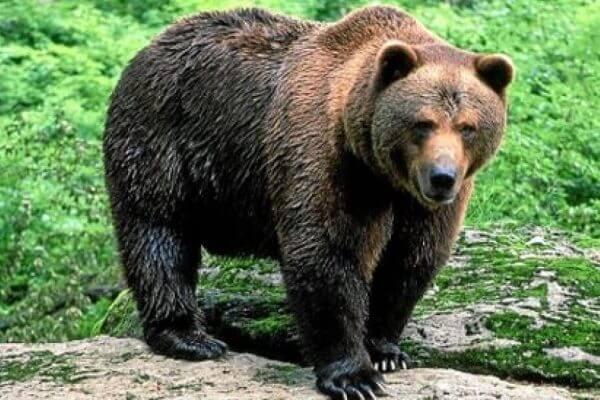 definición oso pardo