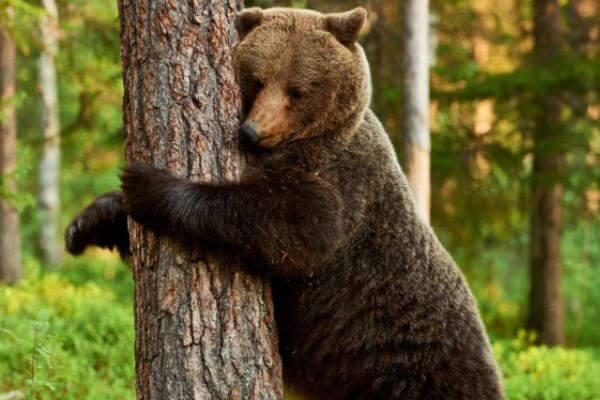 costumbres del oso pardo