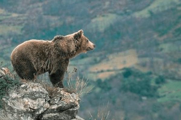 dónde viven los osos pardos