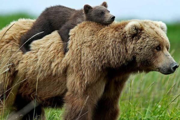 cómo se reproducen los osos pardos