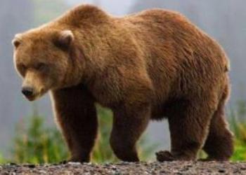 tipos de osos pardo características comportamiento