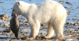 qué come el oso polar