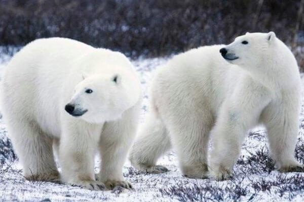 definición oso polar