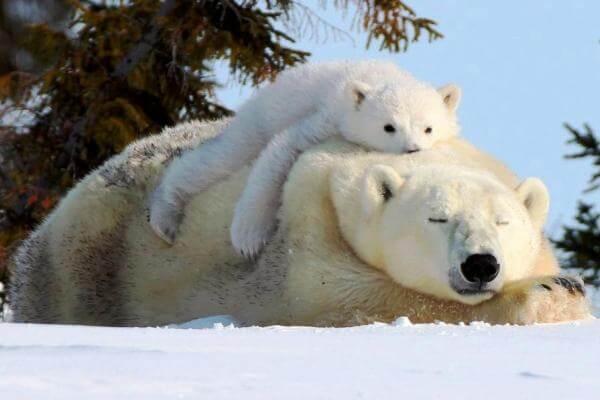 costumbres del oso polar