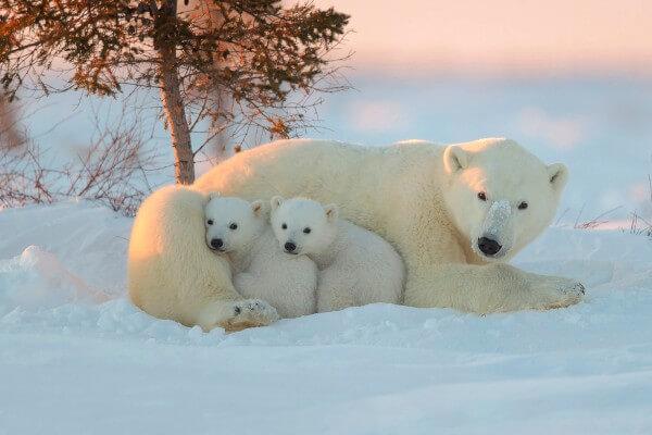 cómo se reproducen los osos polares