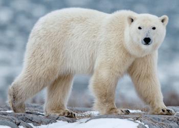 oso polar características