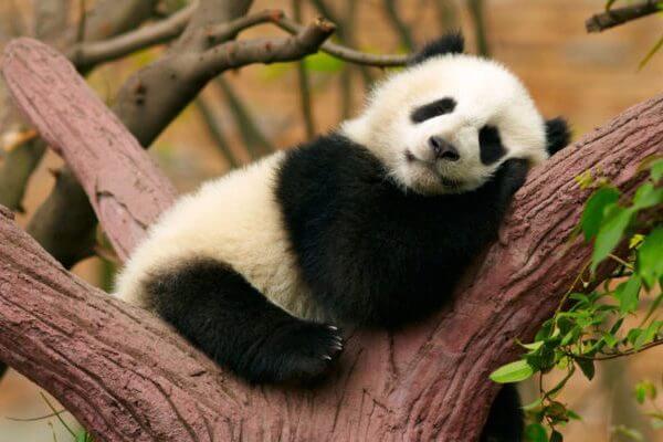 Por qué el oso panda es tan popular