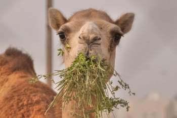 camello dieta