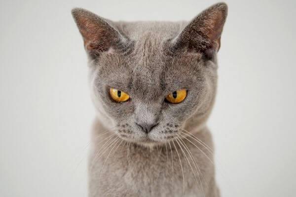 Cuáles son los síntomas de un gato estresado